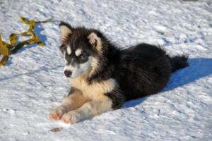 Grönlandhund im Liegen