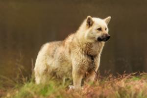 Grönlandhund in der Natur