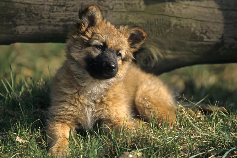 Harzer Fuchs Welpe