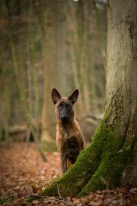 Holländischer Schäferhund in der Natur
