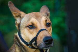 Hund mit Maulschlaufe