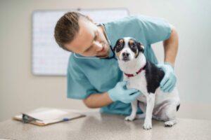 Magenumdrehung Hund: Tierarzt untersucht Hund