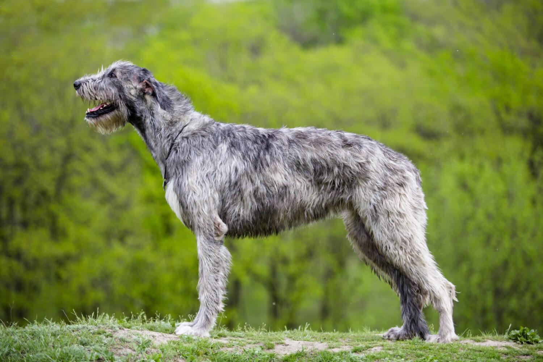 Irischer Wolfshund von der Seite