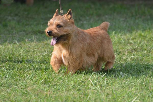 Irish Glen of Imaal Terrier im Auslauf
