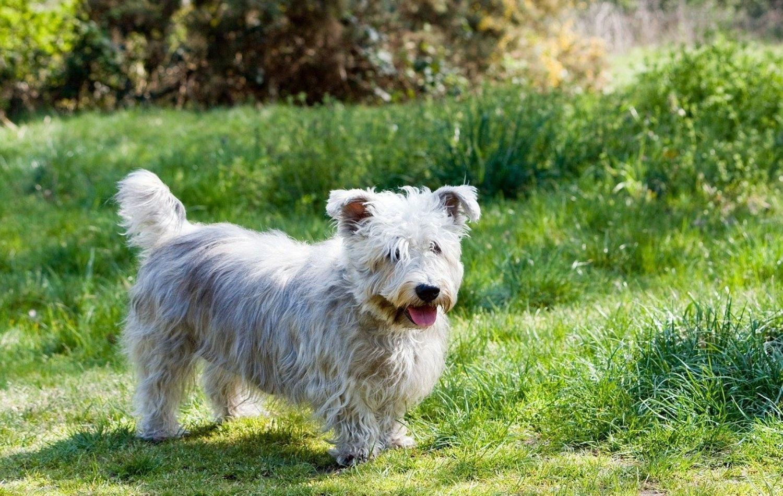 Glen of Imaal Terrier im Portrait