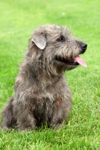 Irish Glen of Imaal Terrier im Sitzen