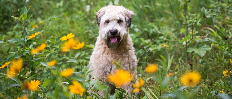 Irish Glen of Imaal Terrier in der Natur
