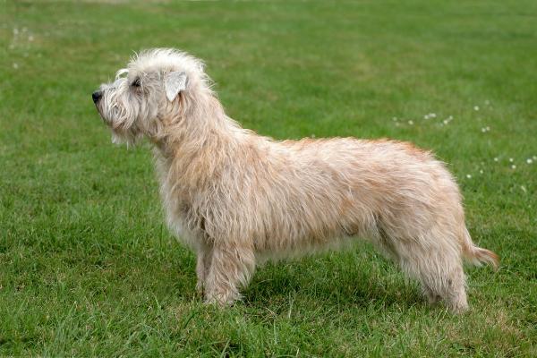 Glen of Imaal Terrier von der Seite