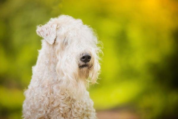 Irish Soft Coated Wheaten Terrier Kopf