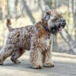 Irish Soft Coated Wheaten Terrier von der Seite