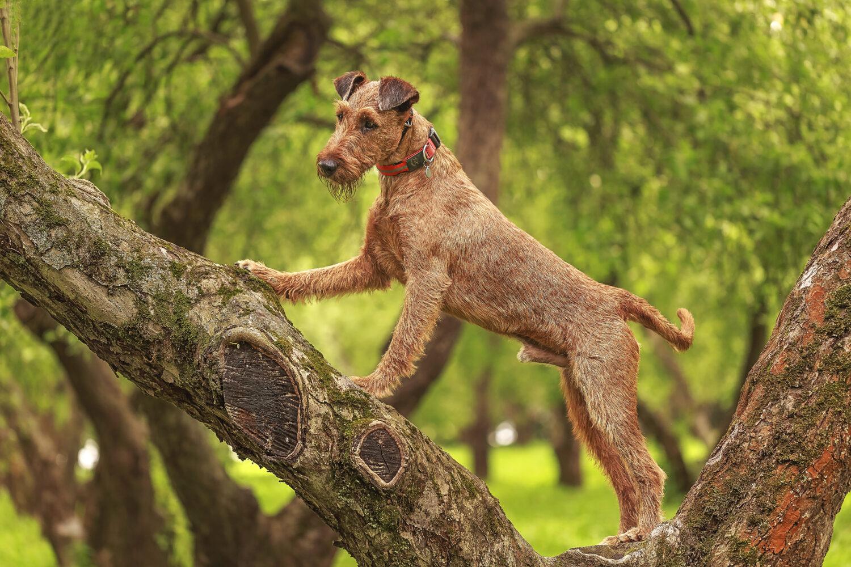 Irish Terrier auf dem Baum