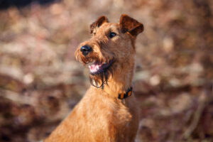 Irish Terrier im Portrait