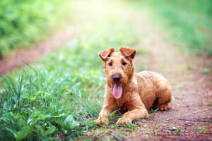 Irish Terrier in der Natur