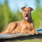 Terrier Hunderassen: Airedale Terrier