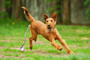 Irish Terrier mit Ball