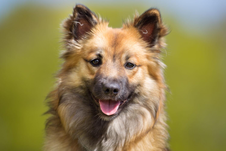 Islandhund Kopf
