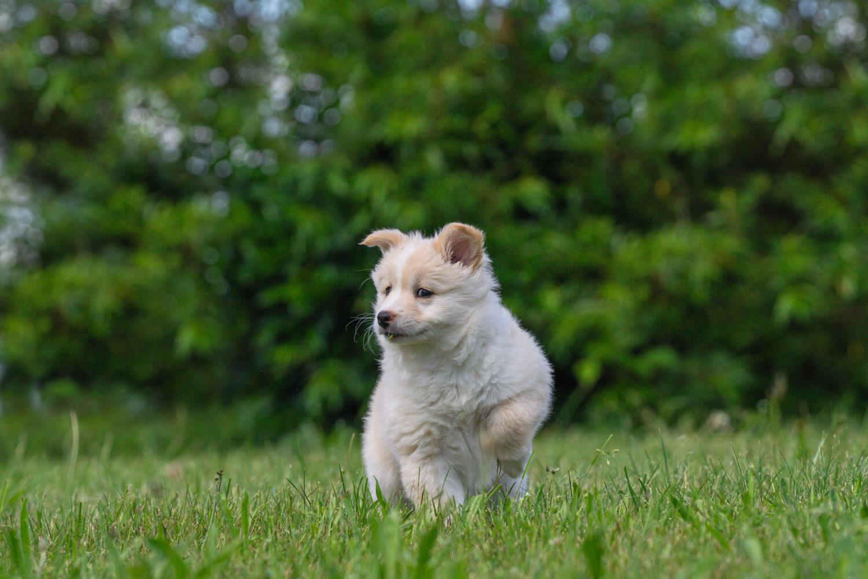 Islandhund Welpe