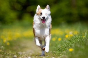 Islandhund im Auslauf