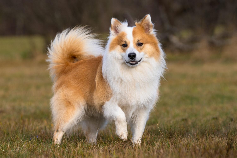Islandhund von vorne