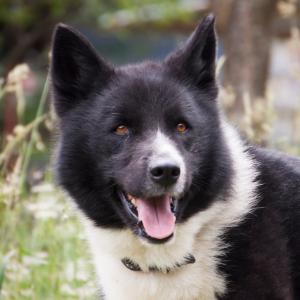 Karelischer Bärenhund im Portrait