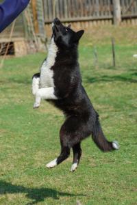 Karelischer Bärenhund im Sprung