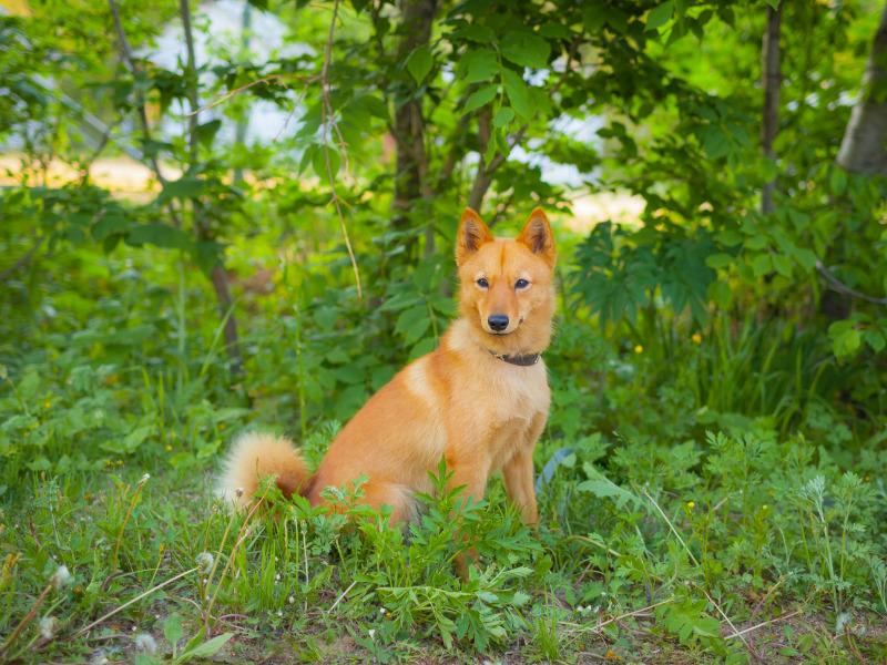 Karelischer Bärenhund in der Natur