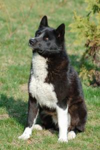 Karelischer Bärenhund sitzend