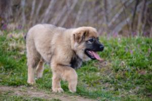 Karst-Schäferhund Welpe