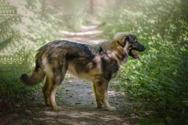 Karst-Schäferhund von der Seite