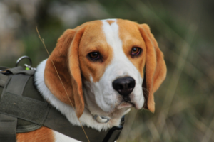 Kastration-hund-beagle