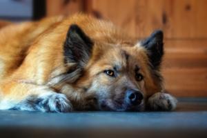 Kastration-hund-verhalten-Hund-liegt