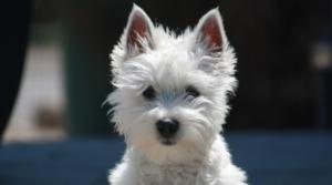 Kleine Hunderasse West Highland Terrier
