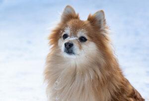 Kleinspitz im Schnee