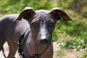 Mexikanischer Nackthund Kopf