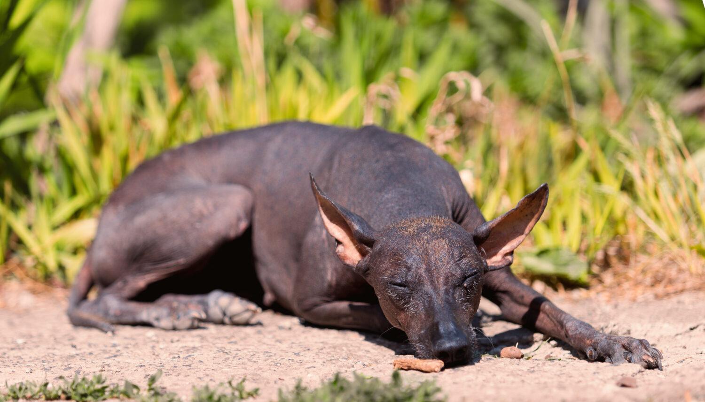 Mexikanischer Nackthund im Liegen