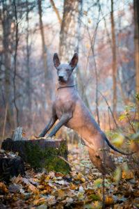 Mexikanischer Nackthund im Portrait