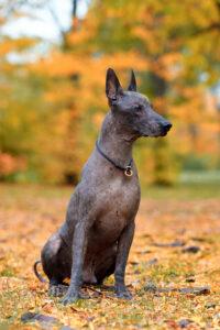 Mexikanischen Nackthund in der Natur