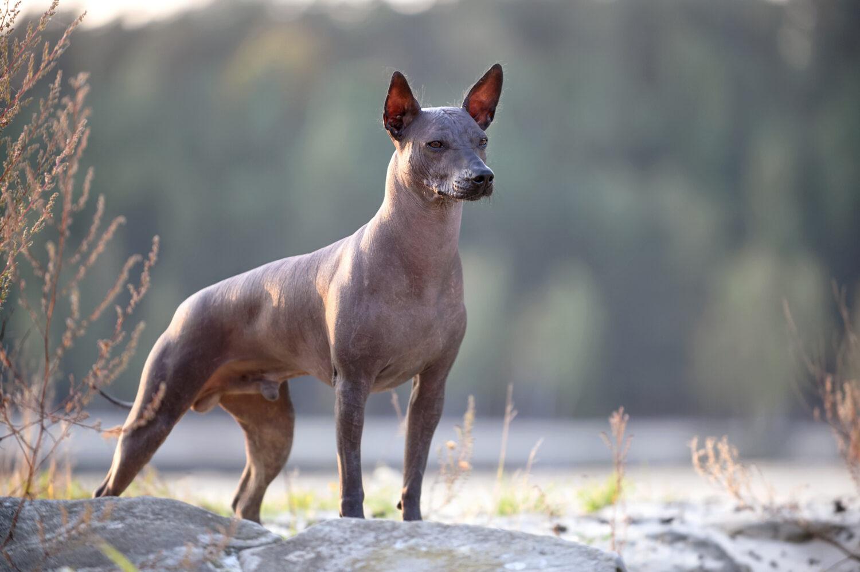 Mexikanischer Nackthund von der Seite