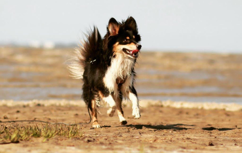 Mini American Shepherd Jack im Lauf