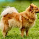 Mittelsptz: Brauner Hund auf Wiese