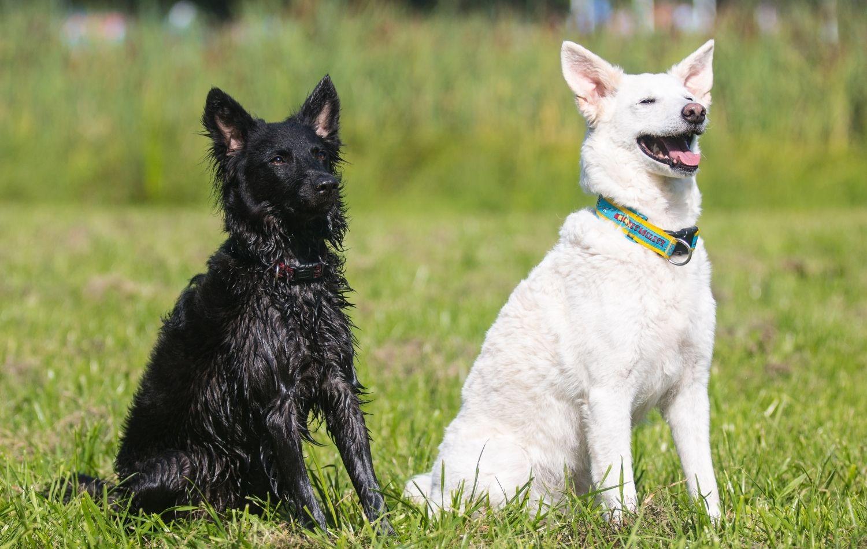 Mudi Hunde