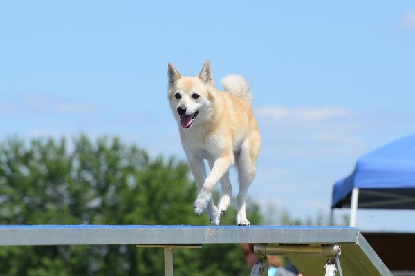 Norwegischer Buhund im Auslauf