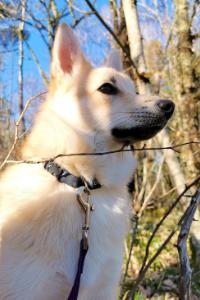 Norwegischer Buhund im Wald
