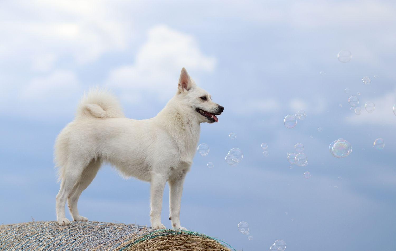 Norwegischer Buhund von der Seite