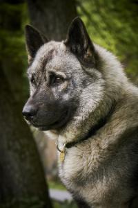 Norwegischer Elchhund Kopf