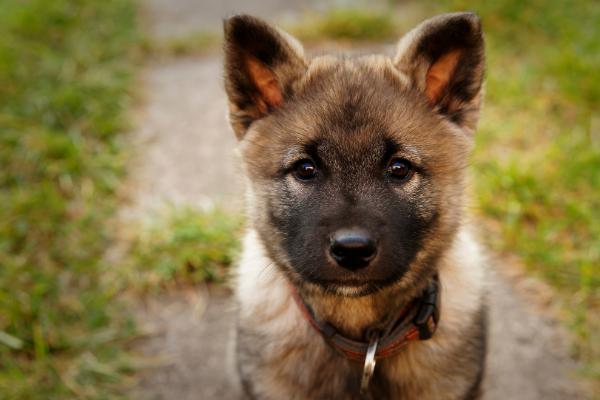 Norwegischer Elchhund Welpe