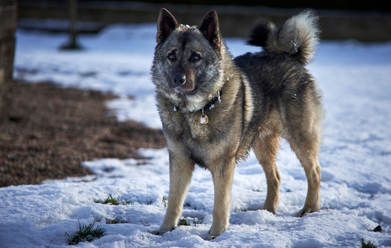Norwegischer Elchhund im Schnee