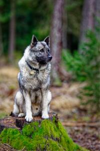 Norwegischer Elchhund im Wald