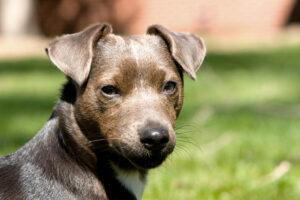 Patterdale Terrier Braun Kopf