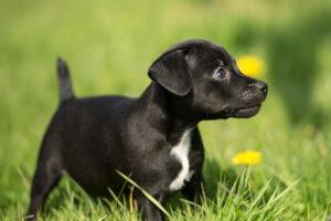 Patterdale Terrier Welpe